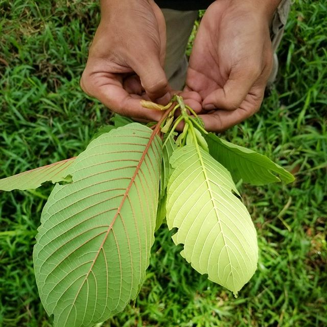 The Leaves of Kratom