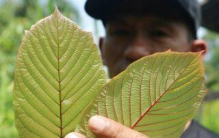 Tips on growing kratom