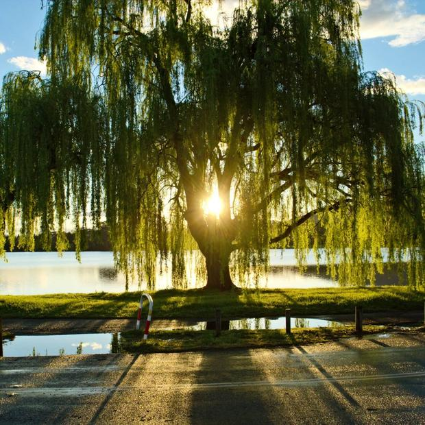 What is Willow Bark?