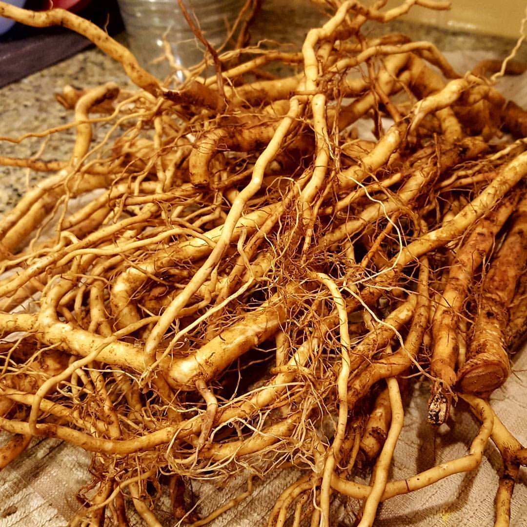 What is the Ashwagandha root?