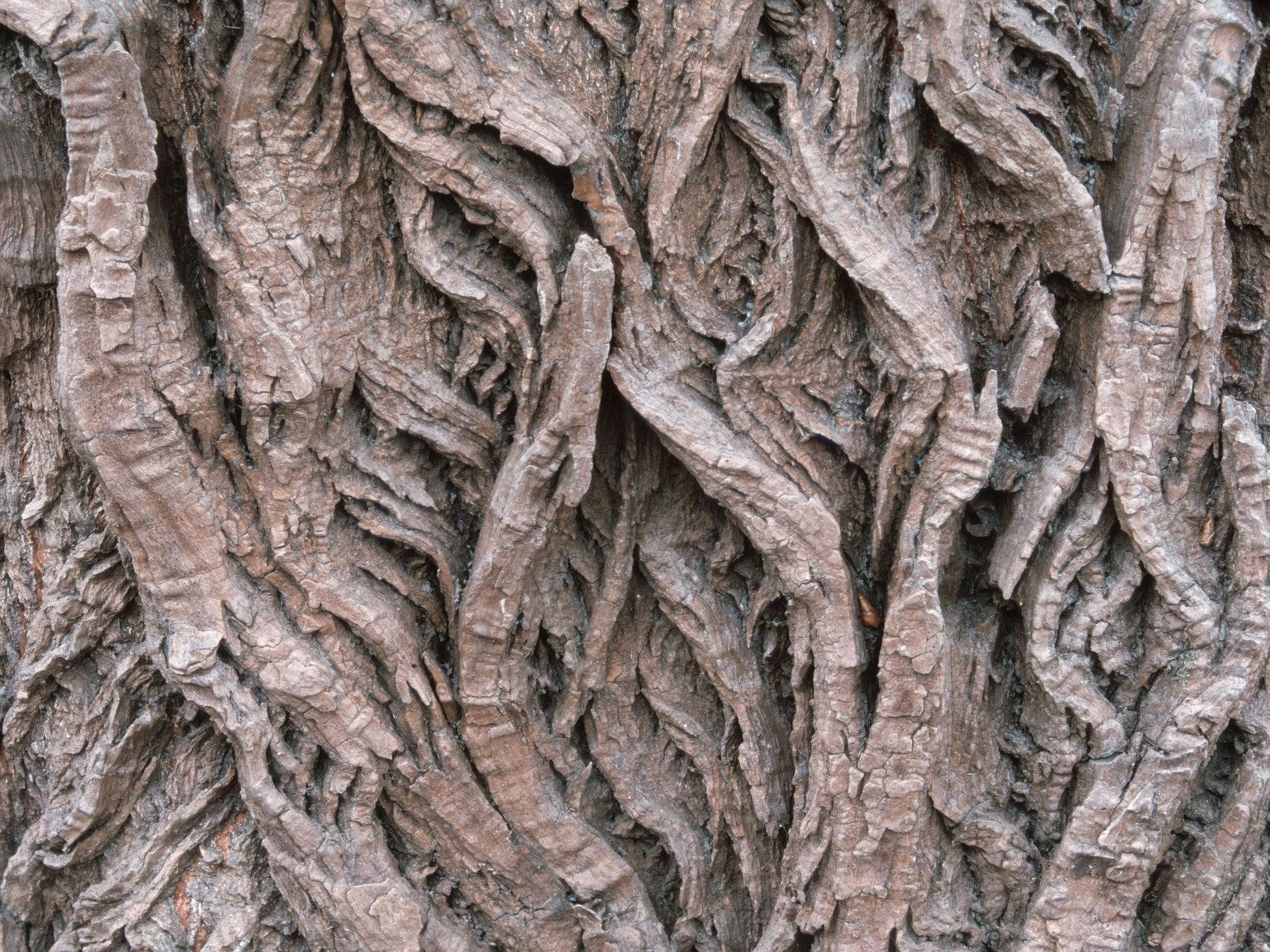 The bark of the willow tree