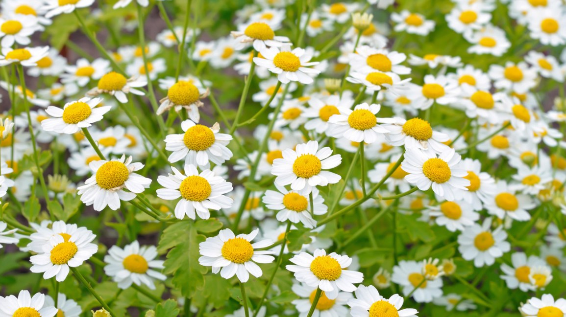 What is Feverfew?